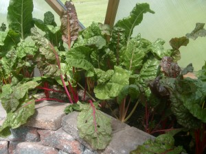 organic-heirloom-rainbow-chard